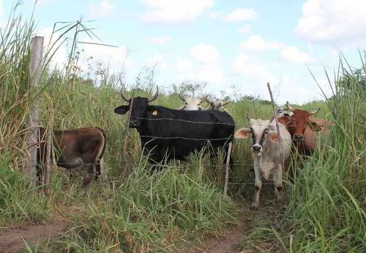 El número de cabezas de ganado en el estado va en decadencia debido a la crisis económica por la que pasan los productores. (Edgardo Rodríguez/SIPSE)
