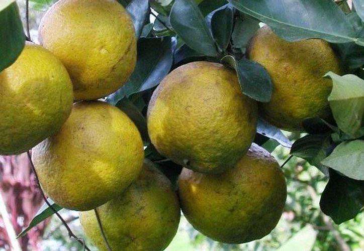 Su nombre científico es Citrus aurantium y crece en los climas tropicales como el de Quintana Roo. (Contexto/Internet)