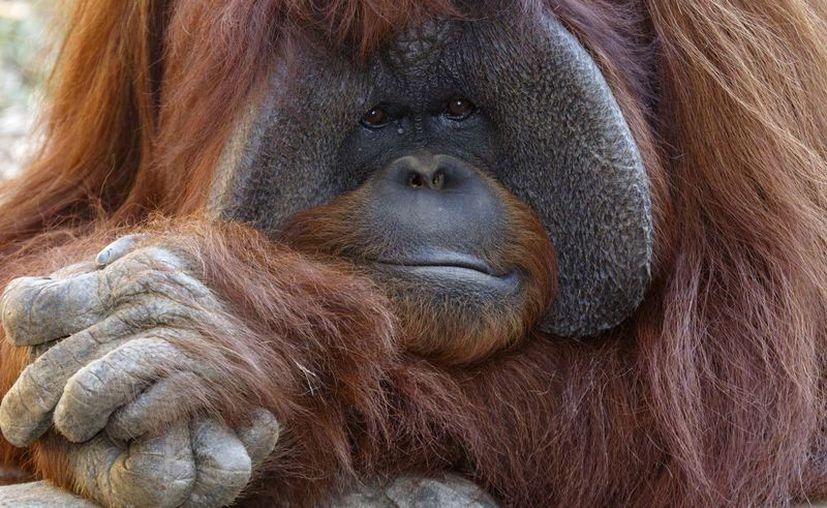 Chantek llegó al zoológico de Atlanta en 1997, a los 19 años de edad. (Zoo Atlanta)