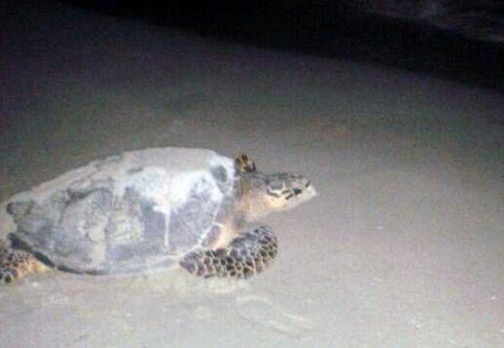 La tortuga que desovó esta madrugada en la playa del malecón de Progreso. (SIPSE)