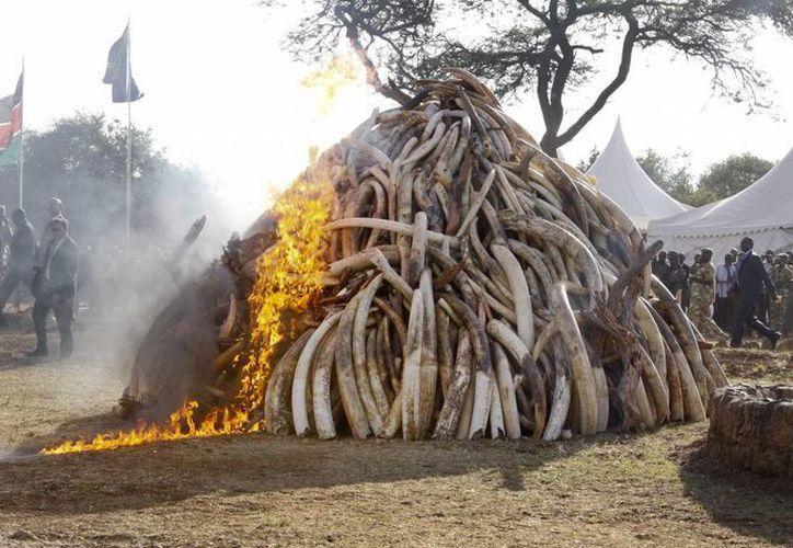 Un bombero controla las llamas que se desprenden de un cargamento de colmillos de elefante que fueron quemado, en el parque nacional Nairobi, en Kenia. (Agencias)