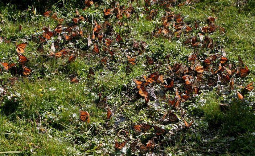 Imagen de miles de mariposas Monarca que arriban a los bosques de oyamel en la Reserva de la Biosfera Mariposa Monarca, en Michoacán. Esta zona será vigilada por la Gendarmería ambiental. (Archivo/Notimex)
