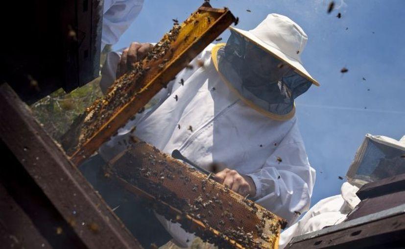 Yucatán produjo mil 100 toneladas de miel de enero a noviembre de 2012. (SIPSE/Foto de archivo)