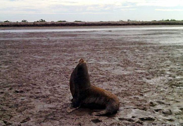 La Procuraduría Federal de Protección al Ambiente (Profepa) rescató y liberó un ejemplar de lobo marino (<i>Zalophus californianus</i>), el cual quedó varado en una granja acuícola, en Guasave, Sinaloa. (Notimex)