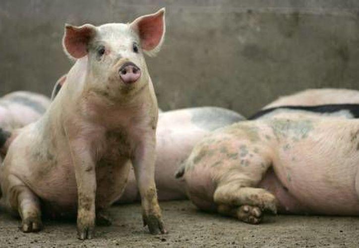 Las acciones de la Sagarpa han incluido dar a conocer la calidad de la carne de cerdo en una gira gastronómica e incentivar su consumo. (SIPSE/Foto de contexto)