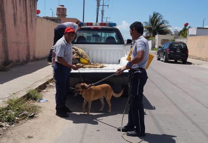 Los bomberos se dieron a la tarea de atrapar al canino para llevarlo a la Dirección de Salud. (Redacción/SIPSE)