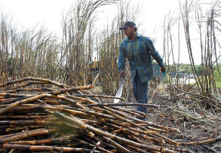 La mayoría de los terrenos se encuentran en zonas bajas donde la caña se encuentra bajo el agua o el lodo. (Edgardo Rodríguez/SIPSE)