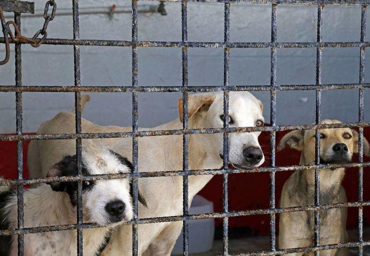 Hasta el momento se resguardan 40 perros adultos y cuatro cachorros. (Jesús Tijerina/SIPSE)