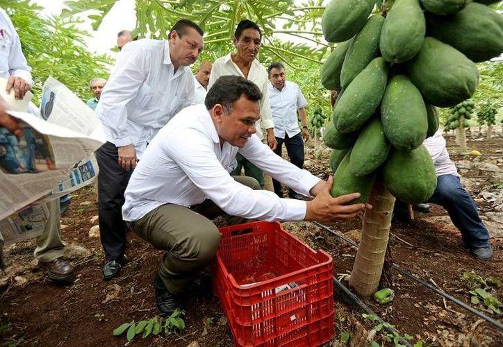 En Yalcobá y Ticuch, comisarías de Valladolid, el Gobernador entregó varios trabajos de reconstrucción y marcó el inicio de la plantación de papaya maradol. (Cortesía)
