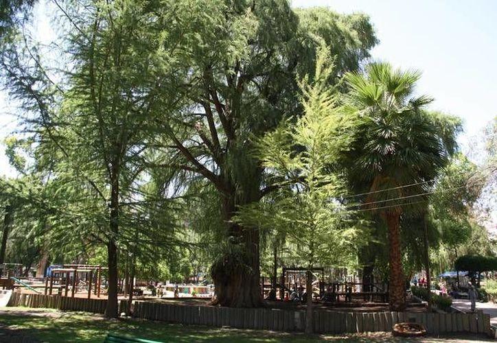 Durango enaltece a los árboles viejos en el 450 aniversario de su fundación. (elsiglodedurango.com.mx)