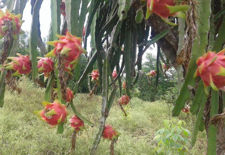 La pitahaya tiene gran potencial productivo y su comercialización traería grandes beneficios económicos.(Juan Rodríguez/SIPSE)