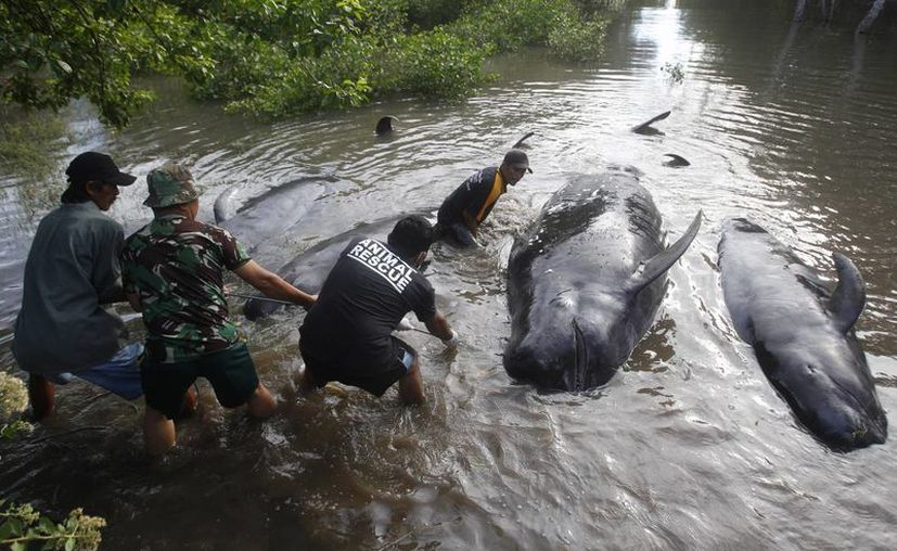 Rescatistas sacan ballenas del agua a ballenas muertas en una playa de la isla de Java, en Indonesia. (Agencias)