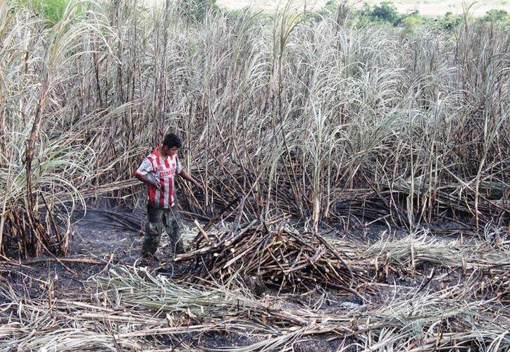 Menores de edad provenientes de Chiapas quedan fuera del corte de caña de azúcar. (Edgardo Rodríguez/SIPSE)
