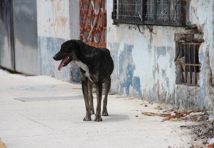 Alrededor de 10 quejas diarias al número telefónico 892-33-26 por maltrato animal se presentan en el Centro de Atención Canina de Cancún (CAC). (Tomás Álvarez/SIPSE)