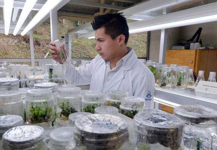 Científicos del CICY trabajan en determinar el estado de conservación de las poblaciones silvestres de vainilla en Yucatán. (Milenio Novedades)