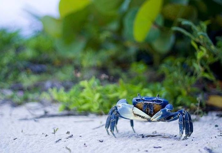 El Programa de Protección al Cangrejo Azul, dará inicio del 15 al 17 de septiembre. (Contexto/SIPSE)