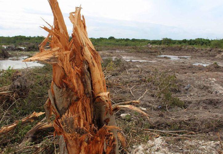 La ley es muy rígida respecto a la destrucción de mangle. (Luis Soto/SIPSE)