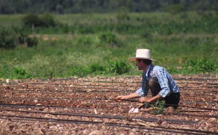 El gobierno Federal ha logrado inyectar algunos recursos para el establecimiento de praderas e incluso para el repoblamiento ganadero. (Redacción/SIPSE)