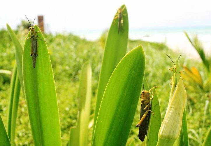 Las mangas de langostas tienen la capacidad de desplazamiento de hasta 20 kilómetros por hora. (SIPSE)