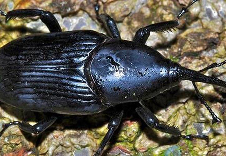 El escarabajo Rhynchophorus palmarum también mata las plantas de cocoteros pero no es tan grave como el amarillamiento letal, contra el que ya se aplica biotecnología. (conacytprensa.mx/Palm Weavil)