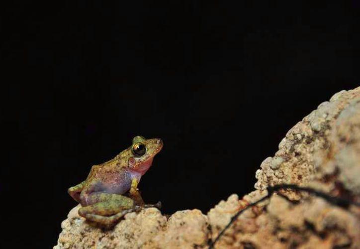 Rana endémica (Eleutherodactylus yucatanensis) documentada por Raul Padilla Borja.