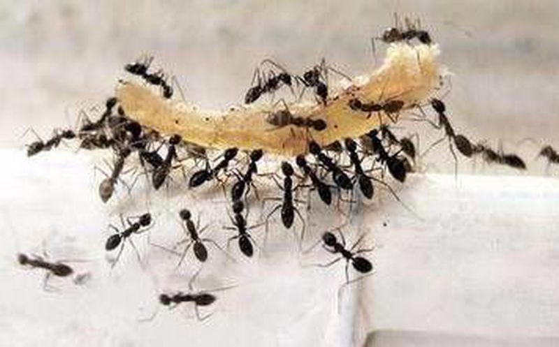Hormigas en casa? Aquí 10 remedios naturales para ahuyentarlas ...