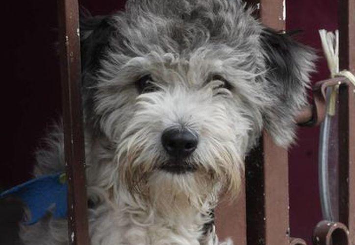Alejandro se encuentra estable tras ser mordido por la mascota de la casa. Imagen de contexto de un perro detrás de la reja de un predio. (SIPSE)