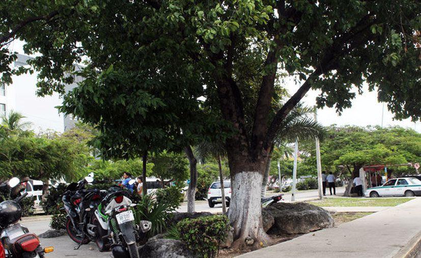 La práctica no es recomendada por los arboristas (Ivett Ycos/SIPSE).