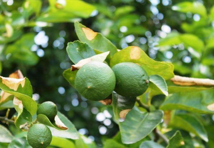 Intermediarios causan pérdidas a los agricultores del limón. (Edgardo Rodríguez/SIPSE)