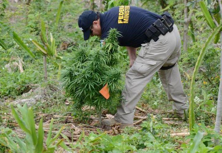 En Coahuila hay desaparecidos que trabajan en campos de marihuana de narcos, según varios organismos. (SIPSE/Contexto)