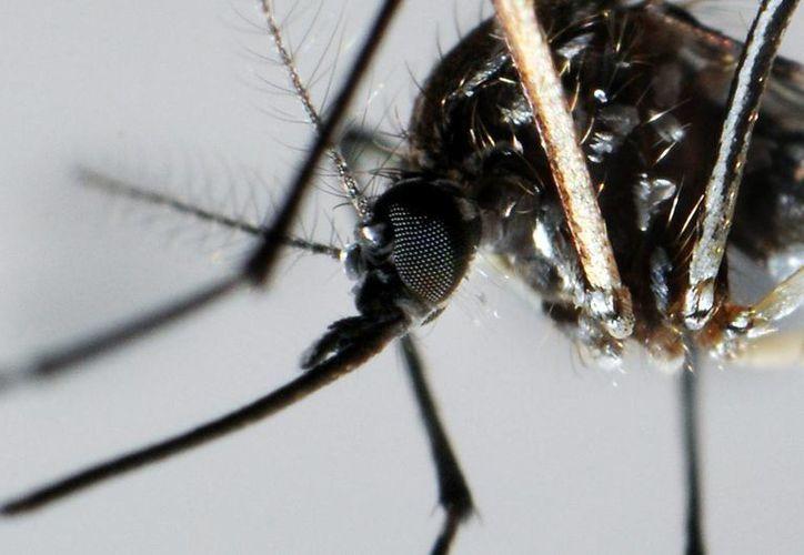 En Chile fueron halladas dos variedades nuevas del mosco Aedes Aegypti, transmidor del dengue, zika y chikungunya. (EFE)