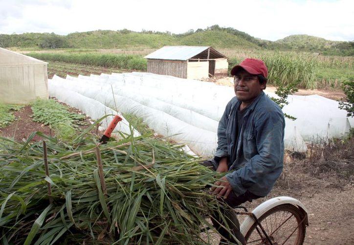El Gobierno de Yucatán plantea tecnificar al menos 30 mil hectáreas. ( SIPSE)