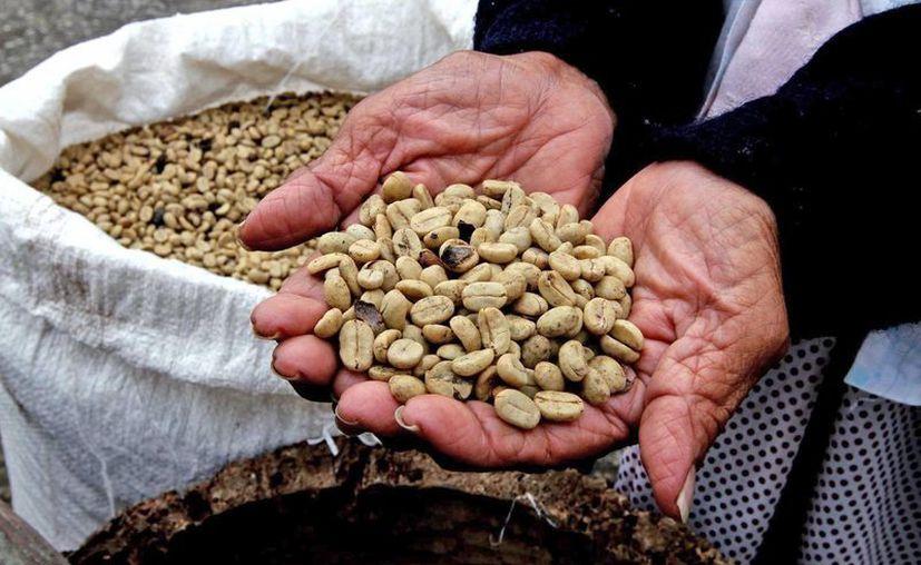La plaga de roya en cultivos nacionales de café ha favorecido el aumento de contrabando de granos desde América Central. (Archivo/Notimex)