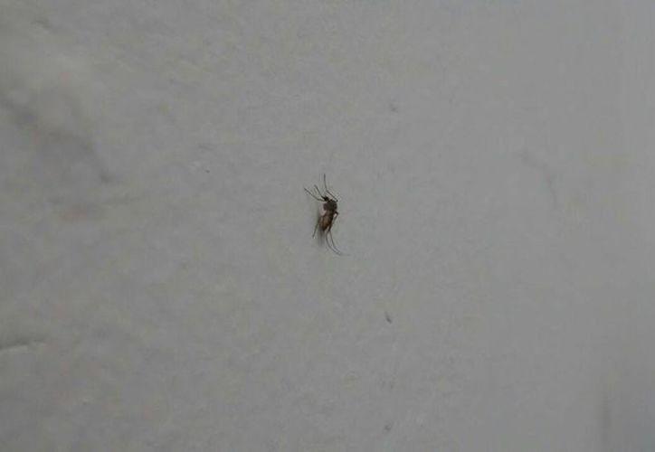 El Departamento de Agricultura y Servicios al Consumidor de EU dijo que otros 95 mosquitos atrapados dieron negativo. Imagen de contexto solo para fines ilustrativos. (Eduardo Vargas/SIPSE)