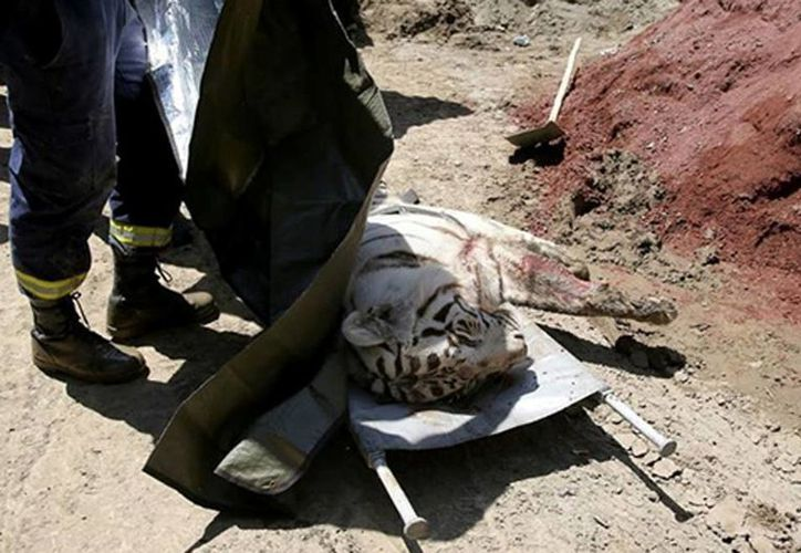 Imagen de un oficial del ministerio de emergencias mientras cubre a un tigre muerto cerca del zoológico de Tiflis, Georgia. La policía señaló que el tigre escapó por la gran inundación en el zoológico y se escondió en una fábrica abandonada, donde mató a un hombre. (Tbilisi Police Press Service via AP)