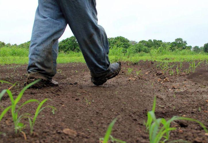 Numerosos cultivos ya se perdieron o están en riesgo de arruinarse en el sur de Yucatán. (José Acosta/SIPSE)