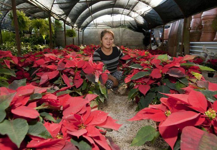 A lo largo de muchos años la familia Camacho Serralde ha logrado cultivar variedades de la especie de la flor de Nochebuena en Yucatán. (Notimex)