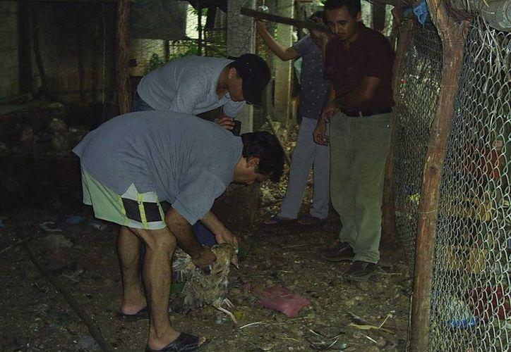 Dueños de las aves muertas muestran los restos de los pollos atacados en el  gallinero. (Jorge Moreno/SIPSE)