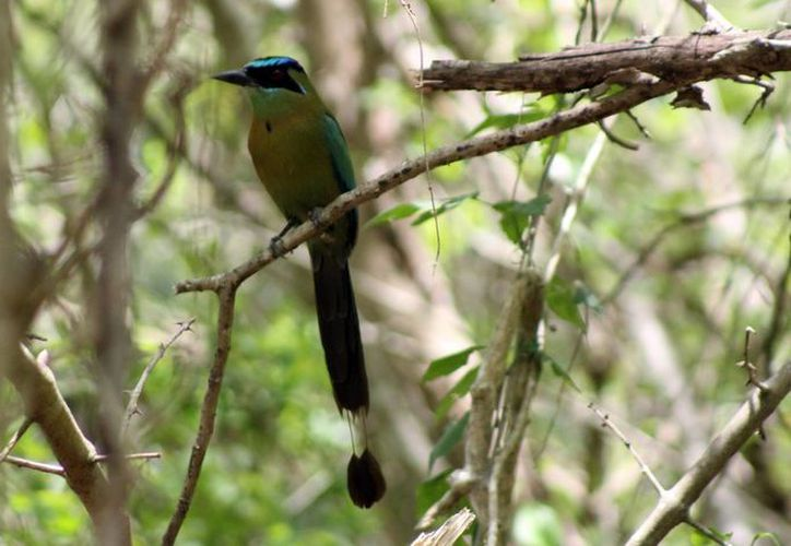 Ya sea por sus coloridos plumajes, sus melodiosos cantos, las aves han sido uno de los grupos de fauna silvestre que más interés ha despertado en actividades de turismo. (Milenio Novedades)