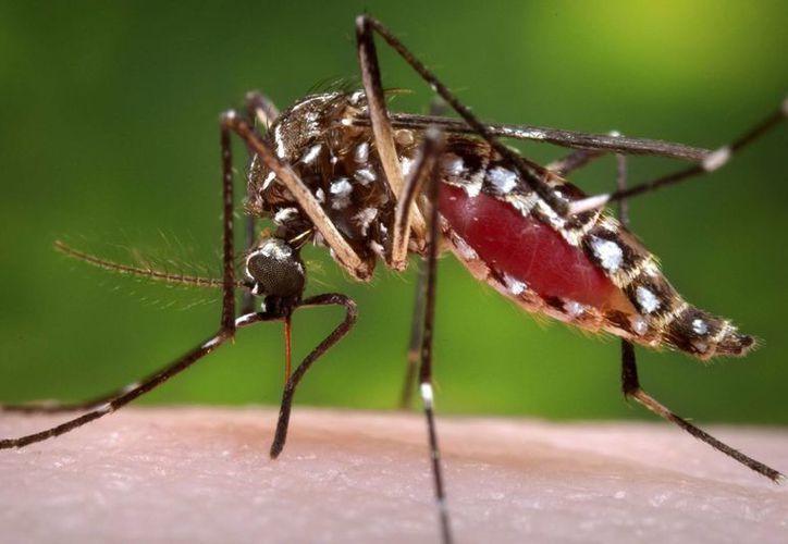 Fotografía facilitada por los Centros para el Control y la Prevención de Enfermedades de Estados Unidos (CDC por sus siglas en inglés) mostrando una hembra del mosquito Aedes aegypti mientras chupa sangre de un voluntario. El virus del zika llegó a Jamaica y lanza una alerta a las mujeres. (James Gathany/CDC vía AP)