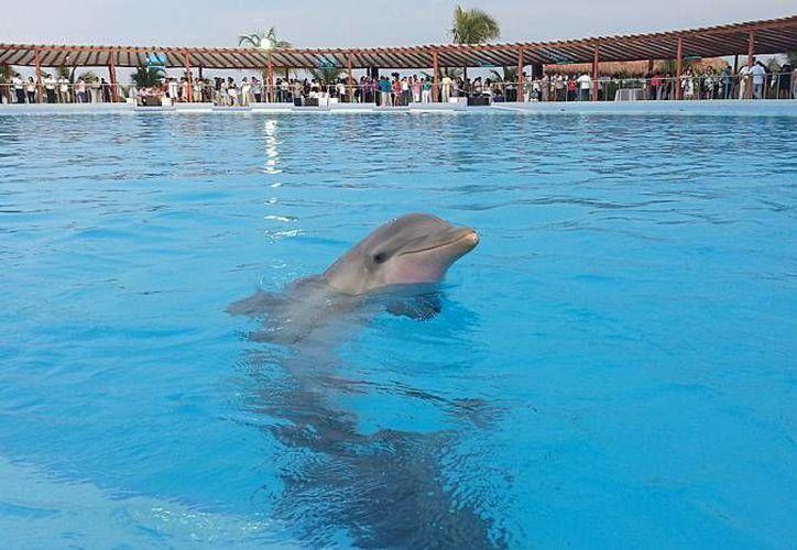 Los delfines son reproducidos en cautiverio en los delfinarios de Quintana Roo. (Contexto/Internet)