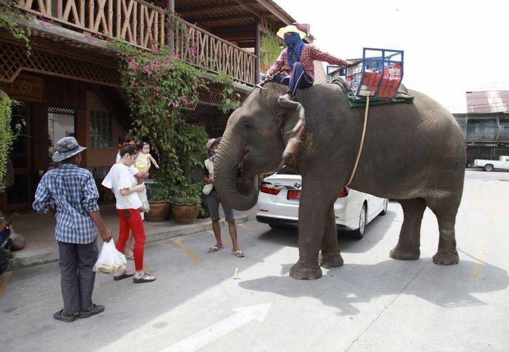 Una turista da limosna a cambio de alimentar con cañas de azúcar a un elefante callejero en Surín, Tailandia. Hace medio siglo que el país prohibió la caza del paquidermo. (EFE)