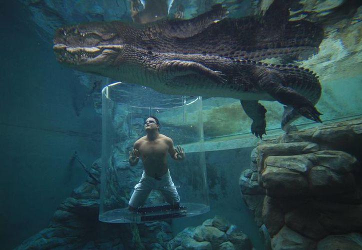 La 'jaula de la muerte' es un recinto de acrílico donde los humanos se encuentran con bestias de más de cinco metros.  (crocosauruscove.com)