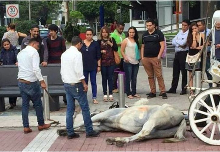 Aseguran que el caballo pasó encima de pintura fresca y cayó, no se pudo levantar debido al estrés causado por las personas que se congregaron a su alrededor. (@Noti_GDL)