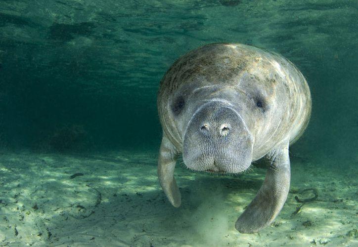 Si bien el manatí se le puede ver en diversas zonas del litoral quintanarroense que son protegidas, el desarrollo turístico ha diezmado sus hábitats. (Internet/Contexto)