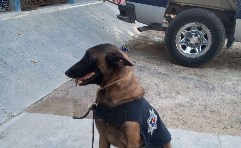 Los binomios caninos han participado en búsqueda y rescate, detección de estupefacientes y custodia. (Sergio Orozco/SIPSE)
