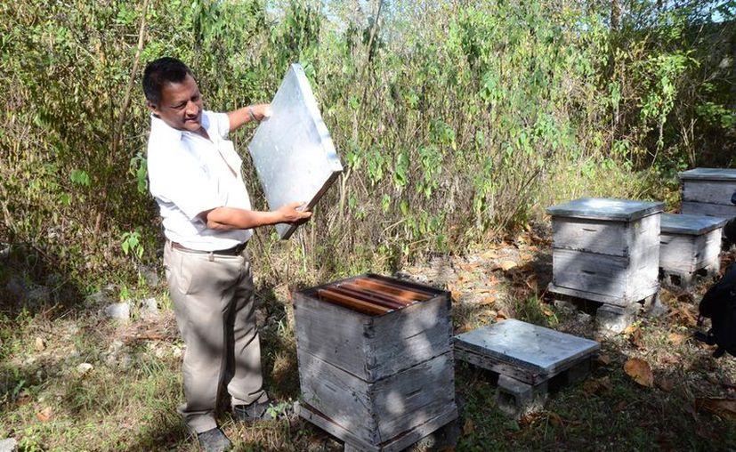 Felipe Carrillo Puerto cuenta 10 mil 470 colmenas, conformadas por 561 socios de las comunidades de San José, Tepich y Tihosuco. (Jesús Caamal/SIPSE)