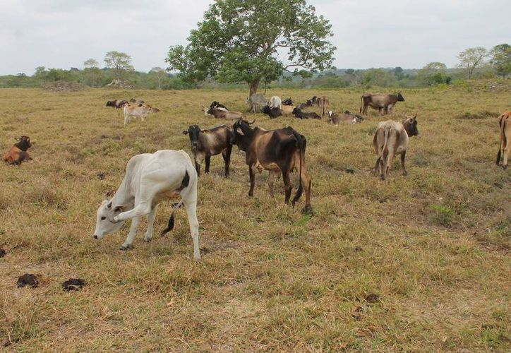 La producción de leche atraviesa por una mala racha. (Benjamín Pat/SIPSE)