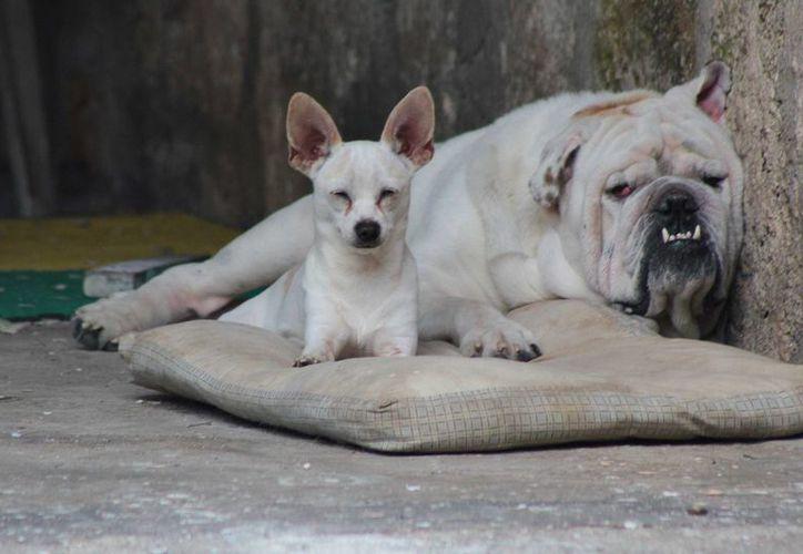 Organizaciones de veterinarios realizarán una mega campaña de esterilización de mascotas en Cozumel. (Gustavo Villegas/SIPSE)