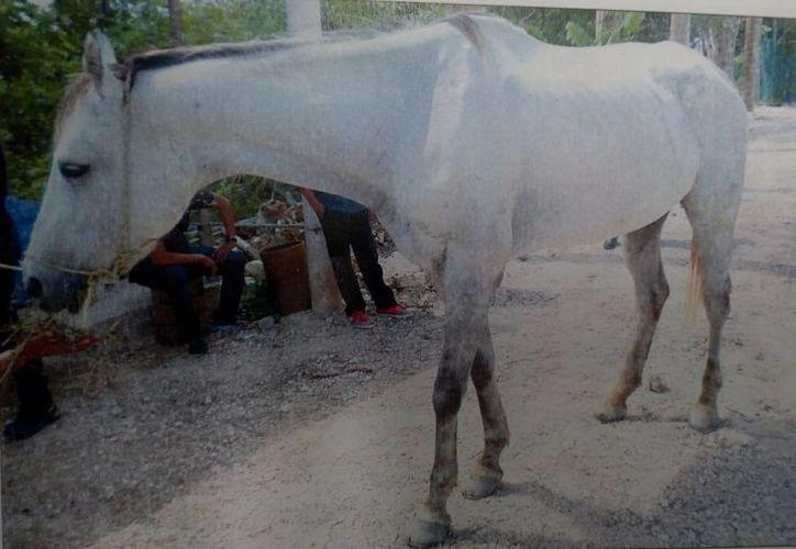 El caballo fue rescatado de un área verde. (Eric Galindo/SIPSE)